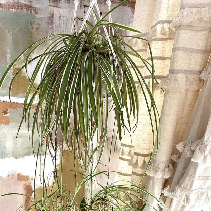 A hanging spider plant is easy to grow and makes more spider plants
