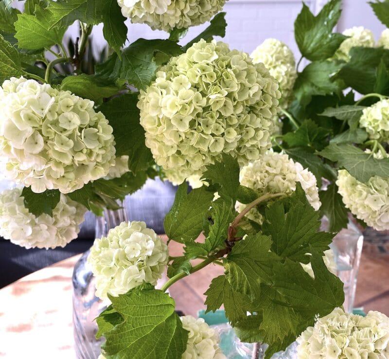 Snowball viburnum flowers