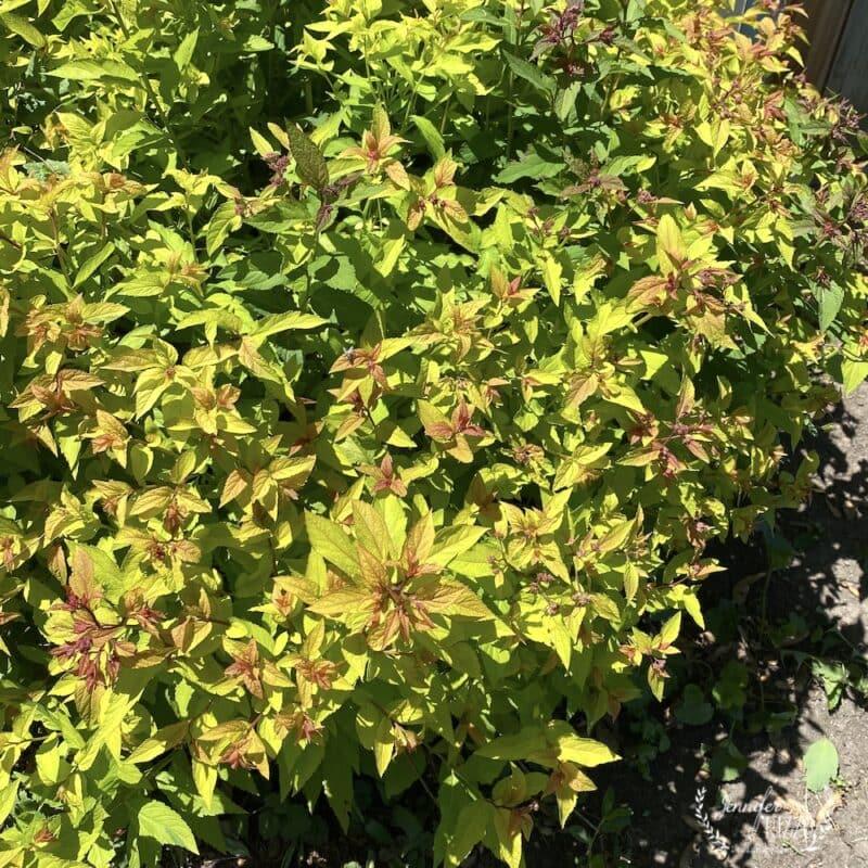 Spirea bush in the garden