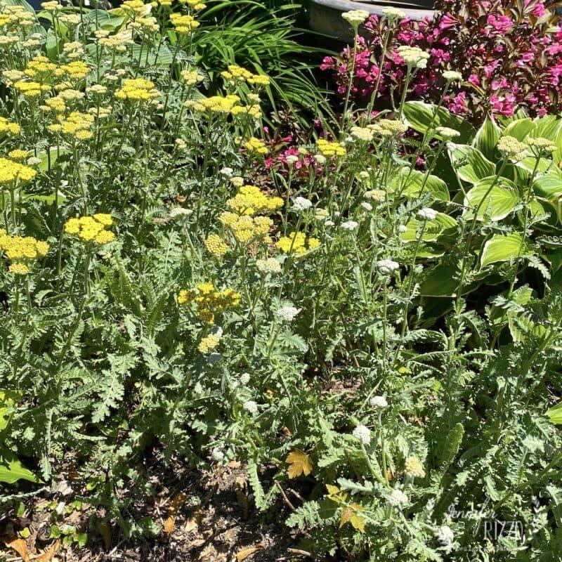 Yellow Yarrow in the garden