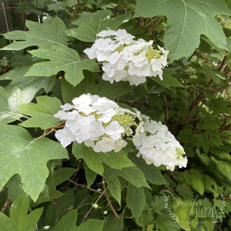 Oakleaf hydrangea wiith white flowers