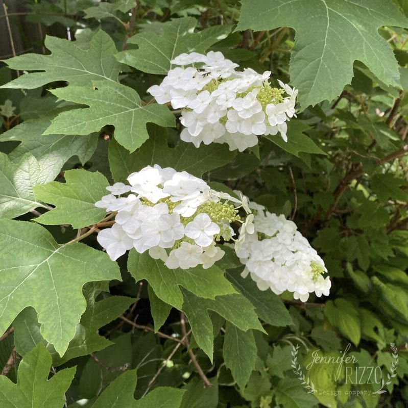Plant an Oakleaf Hydrangea in a Shade Garden