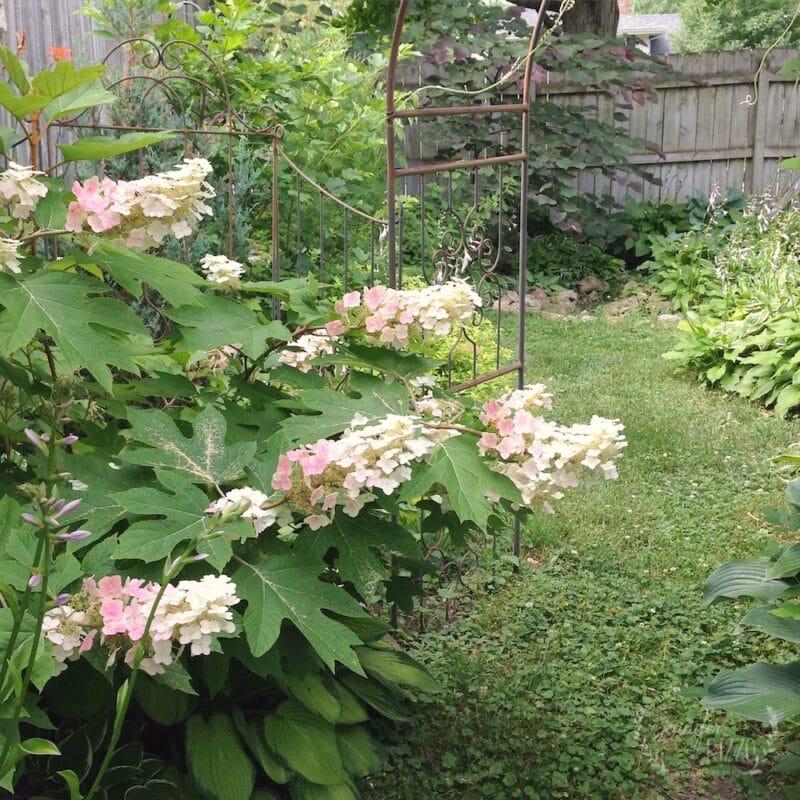 Midsummer Oakleaf hydrangea turning from cream to pink