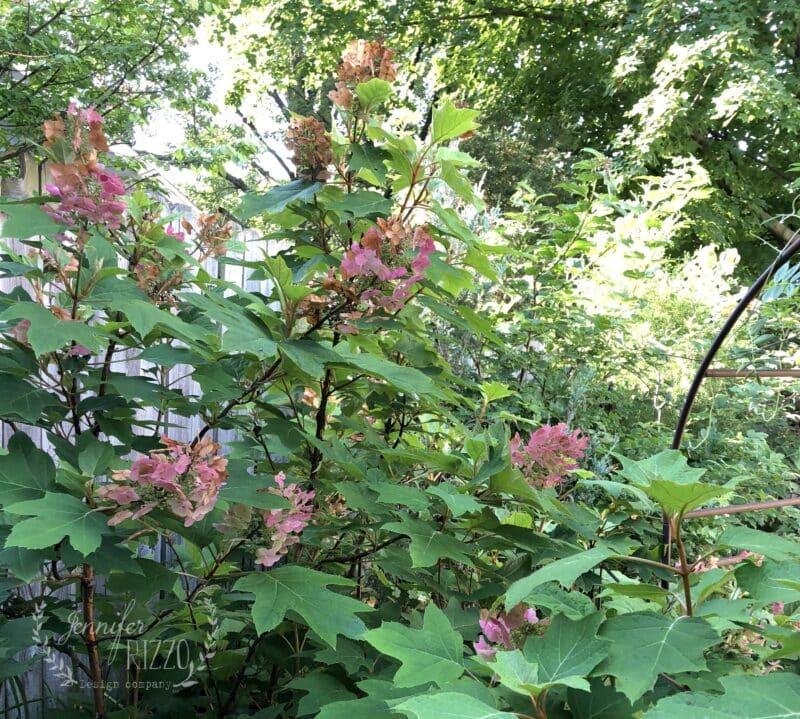 Oakleaf hydrangea turning pink to brown