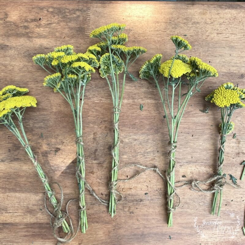 Bundles of Yarrow to hang and dry for dried flower arrangements