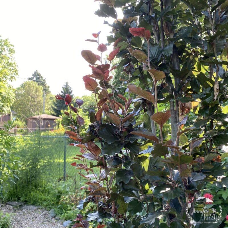 Purple columnar beech tree