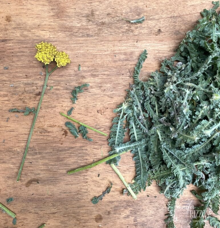 Yarrow with leaves removed for dried flower arrangements