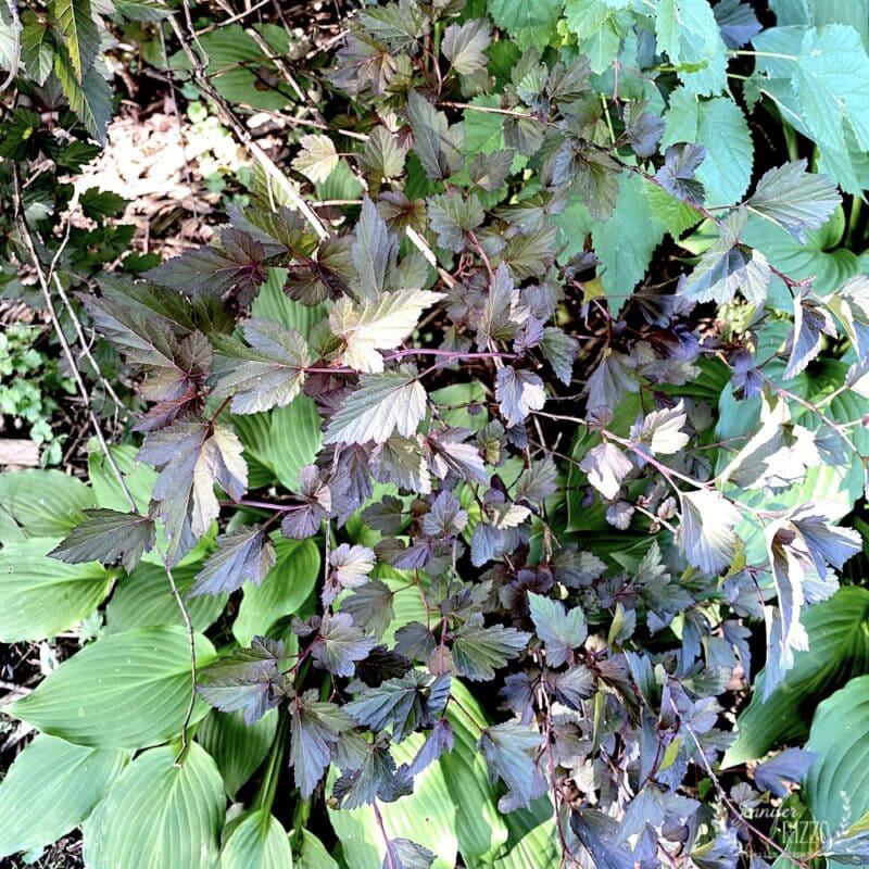 El Diablo Ninebark purple shrubs