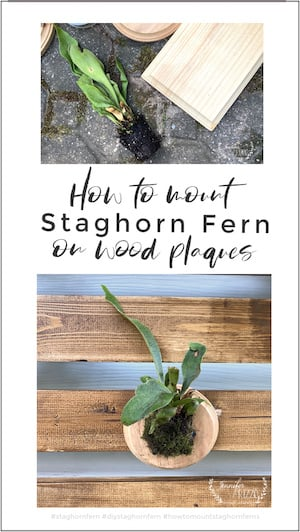 How to mount Staghorn Ferns on wood plaques