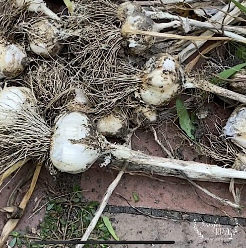 Garlic bulbs after harvest. How to grow and store garlic