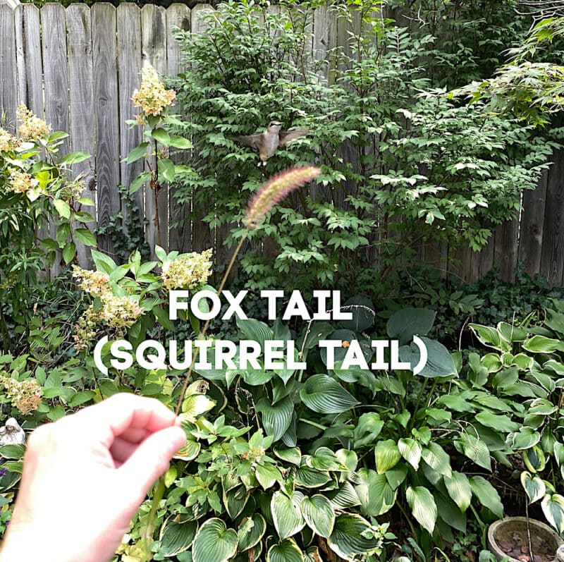 Fox tail Squirrel l tail grass