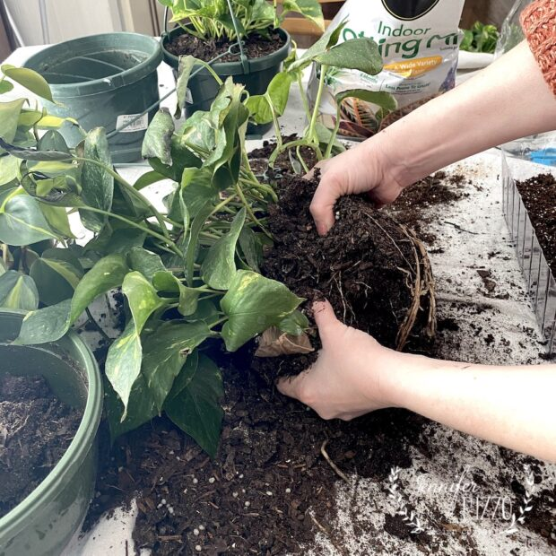 Divide Pothos by gently pulling them a part at the roots