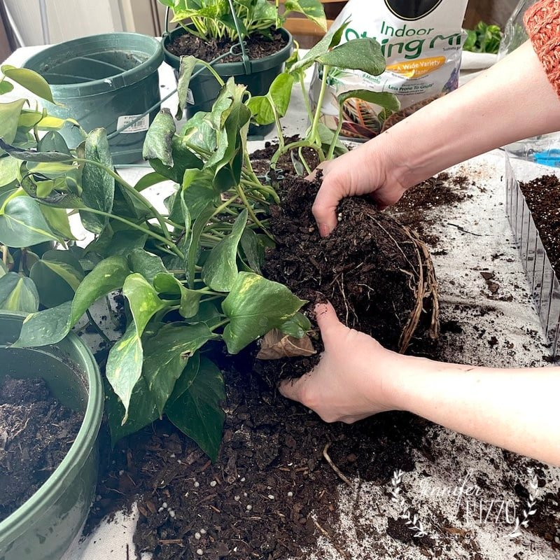 How to Divide Pothos Plants