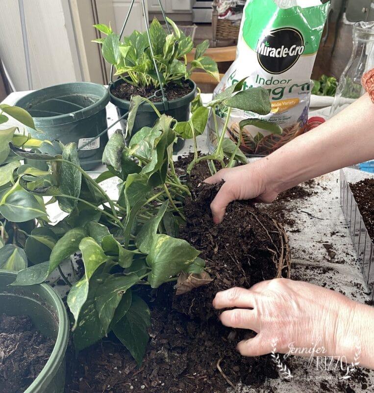 Dividing pothos plants from plastic pots