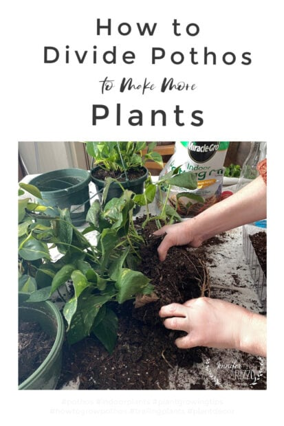 Dividing pothos plants to make more plants