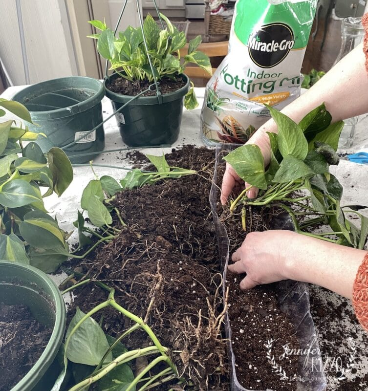 Replanting pothos divisions with new soil