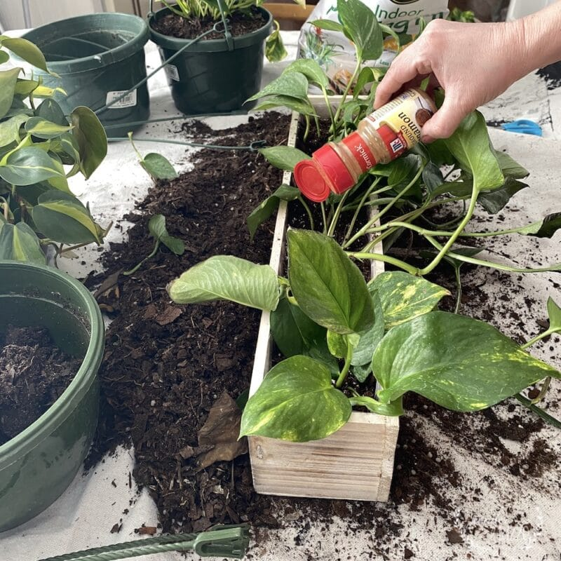 Using cinnamon for fungus gnats