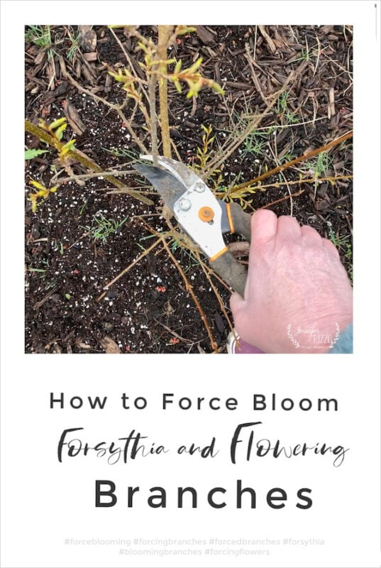 How to force bloom forsythia brnaches indoors