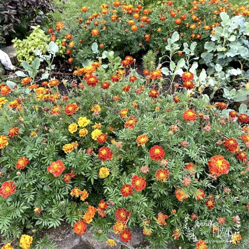 Marigolds as garden plants