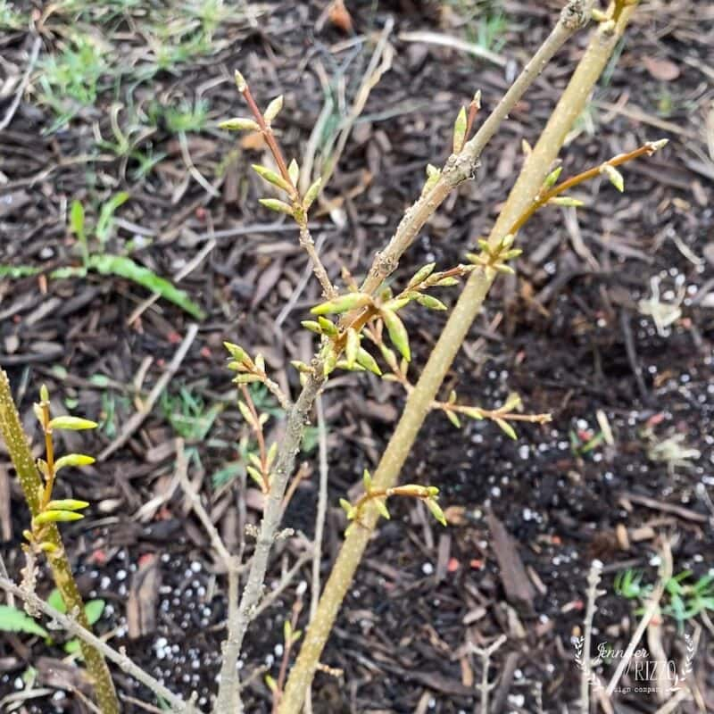 Unopened Forsythia branch buds ready to force bloom
