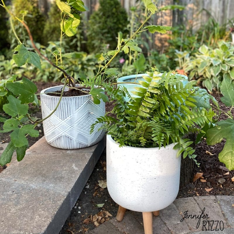 Fern and hardy fig in pots fro patio decor