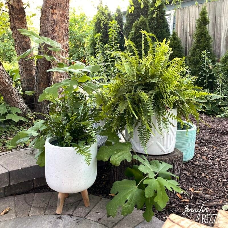Potted ferns and plants for patio interest