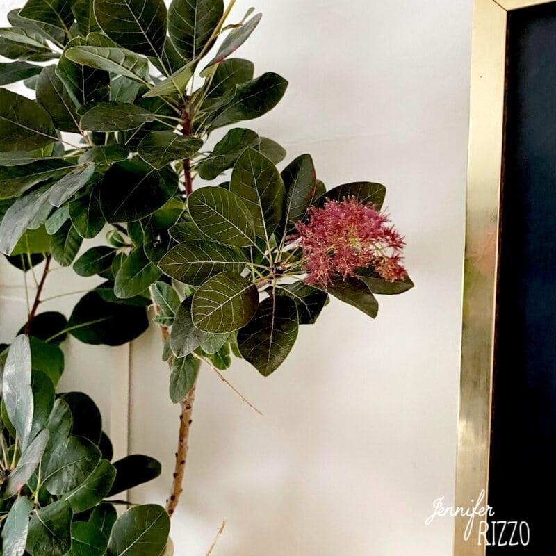 Smoke bush leaves and flower